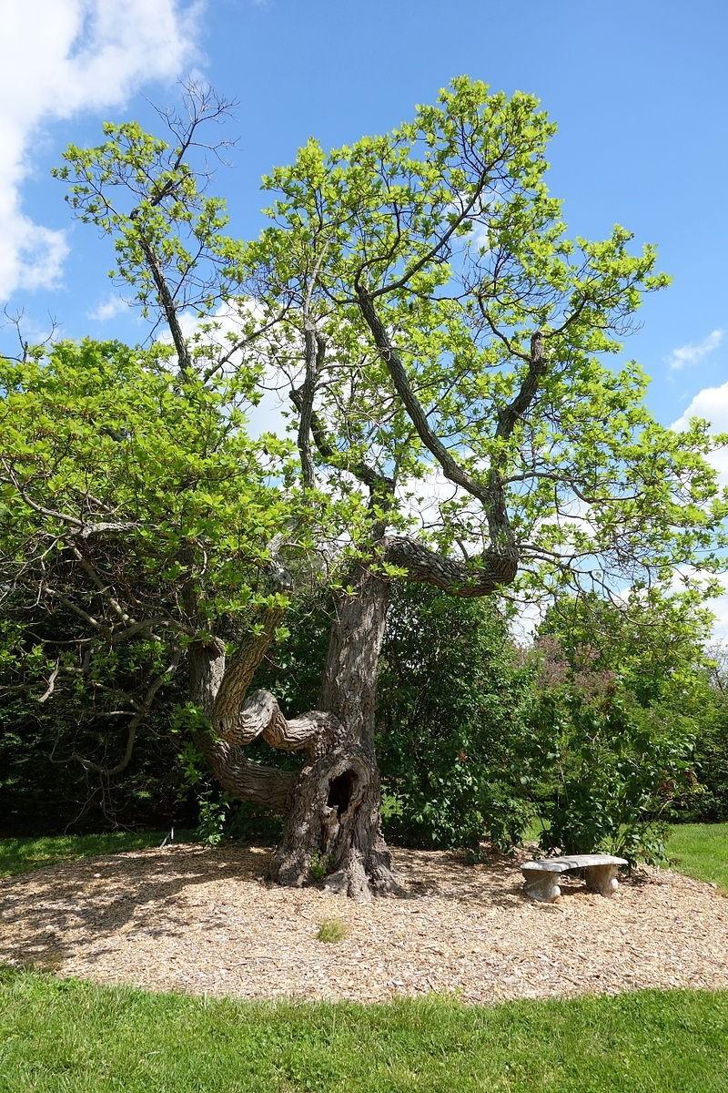 kasta belava - Kasťa neboli sasafras: Efektní solitéra do zahrady i cizokrajné koření