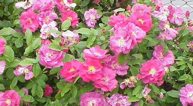 kelstska ruze - Růže keltská patří k nejstarším pěstovaným druhům