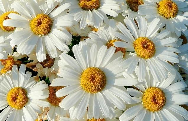 kopretina kvet - Kopretina velkokvětá je nenáročná a atraktivní ozdoba zahrady