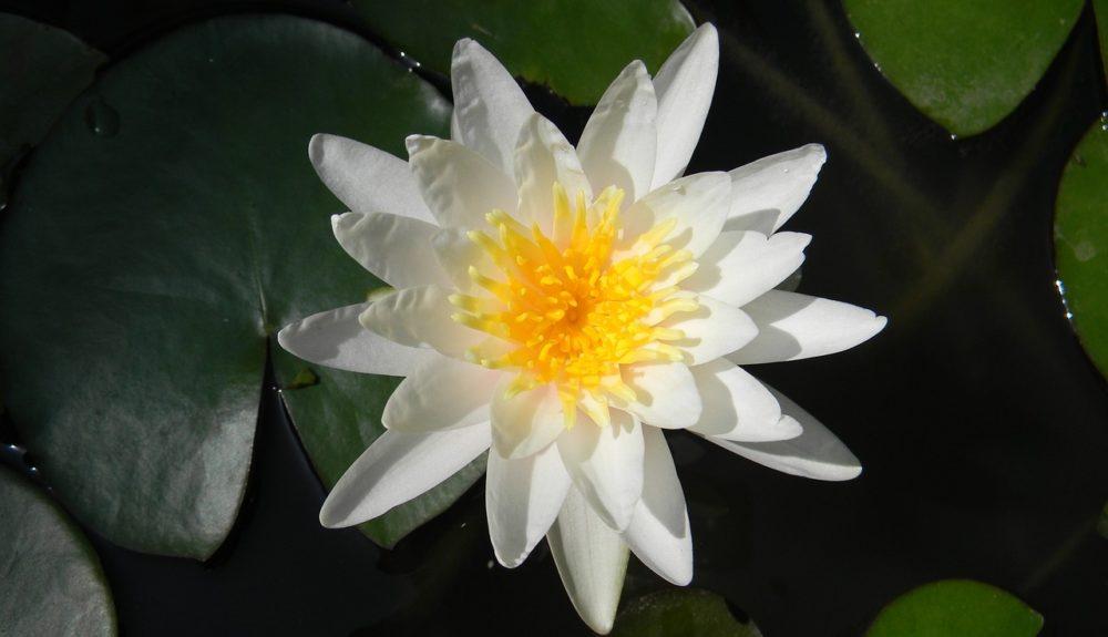 leknin kvet - Bílý leknín se využíval jako sedativum a tlumič sexuální podrážděnosti