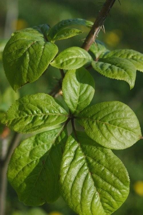 listy zensen sibirsky - Sibiřský ženšen neboli čertův kořen pomůže nejen při vyčerpání