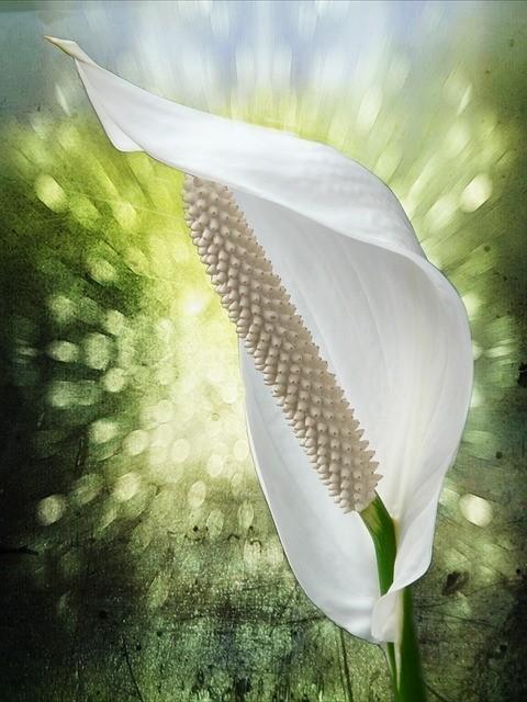 lopatkovec rostlina - Když nekvete lopatkovec, pomůže citronová šťáva