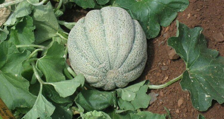 meloun cukrovy