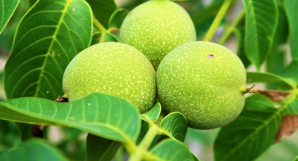 orech 1 - Domácí ořechovka je výborný pomocník při žaludečních obtížích a čistí játra