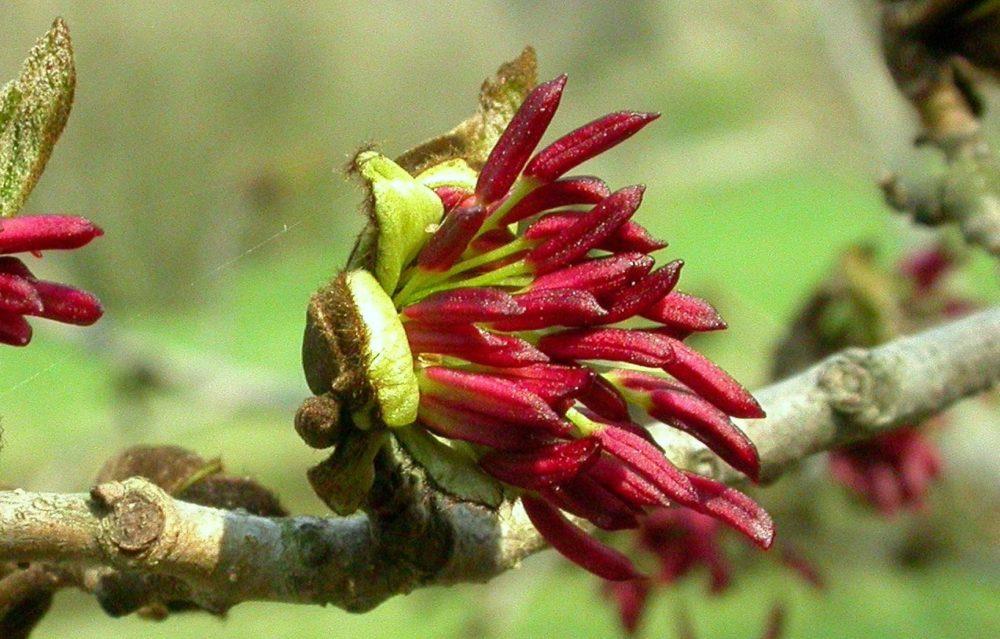 parocie kvet - Parócie perská ozdobí zahradu v každém ročním období