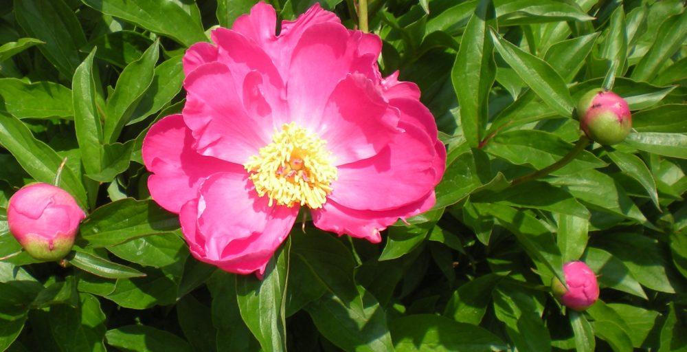 pivonky - Které květiny se nejvíc hodí do vázy na stůl