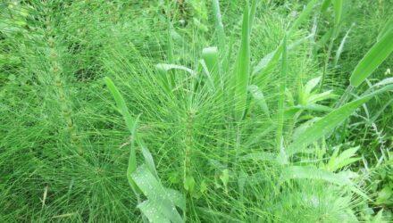 preslicka rostlina
