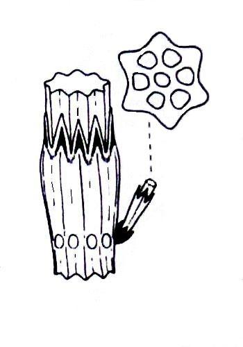 rostlina stonek - Proč na zahradě pěstovat přesličku rolní a jak si ji nesplést s jedovatou přesličkou bahenní