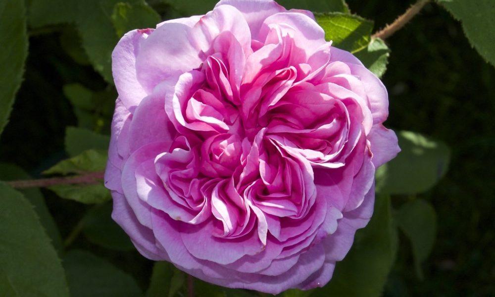 stolista ruze - Růže stolistá je odolná, voňavá, krásná i léčivá
