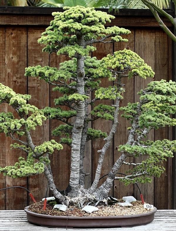 vicekmena bonsaj - Bonsaje ve stylu krajinky, lesa nebo vícekmenu