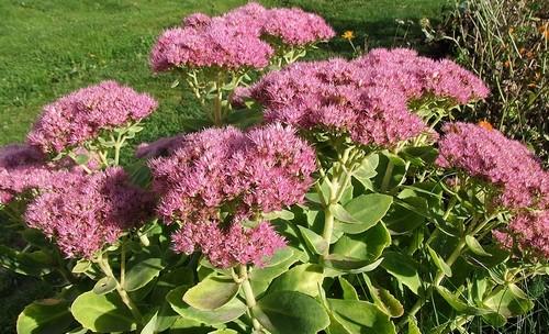 Sedum spectabile wikipedia.org  - Květiny, které se nebojí podzimních mrazů. Prodlužte si léto ve vaší zahradě
