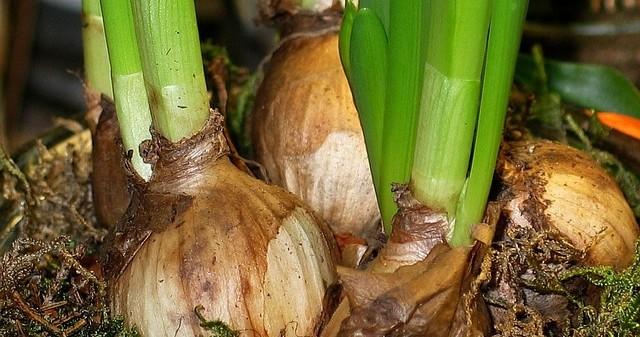 cibulovina - Kdy ze země vykopat cibule a hlízy okrasných rostlin? Univerzální termín neexistuje
