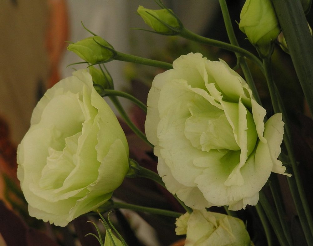 esutoma - Eustoma neboli jícnovka: Kráska, která se využívá do řezaných kytic