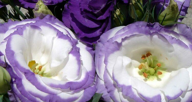 eustoma kvet