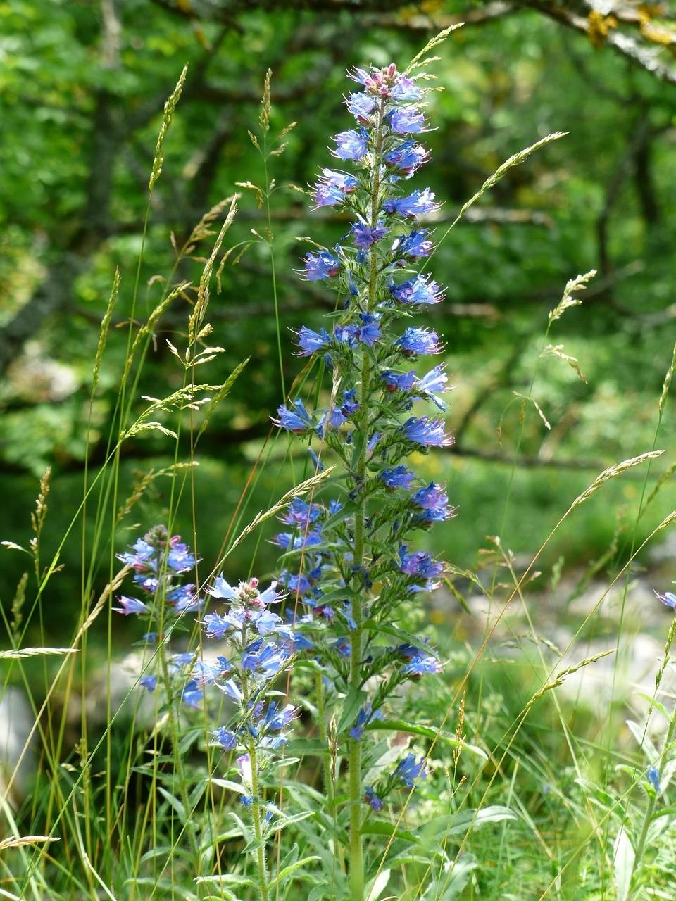 hadinec rostlina - Hadinec obecný se využívá ve formě obkladu při revmatismu a křečových žílách