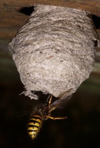 hnizdo - Jak se zbavit vos a zlikvidovat vosí hnízda