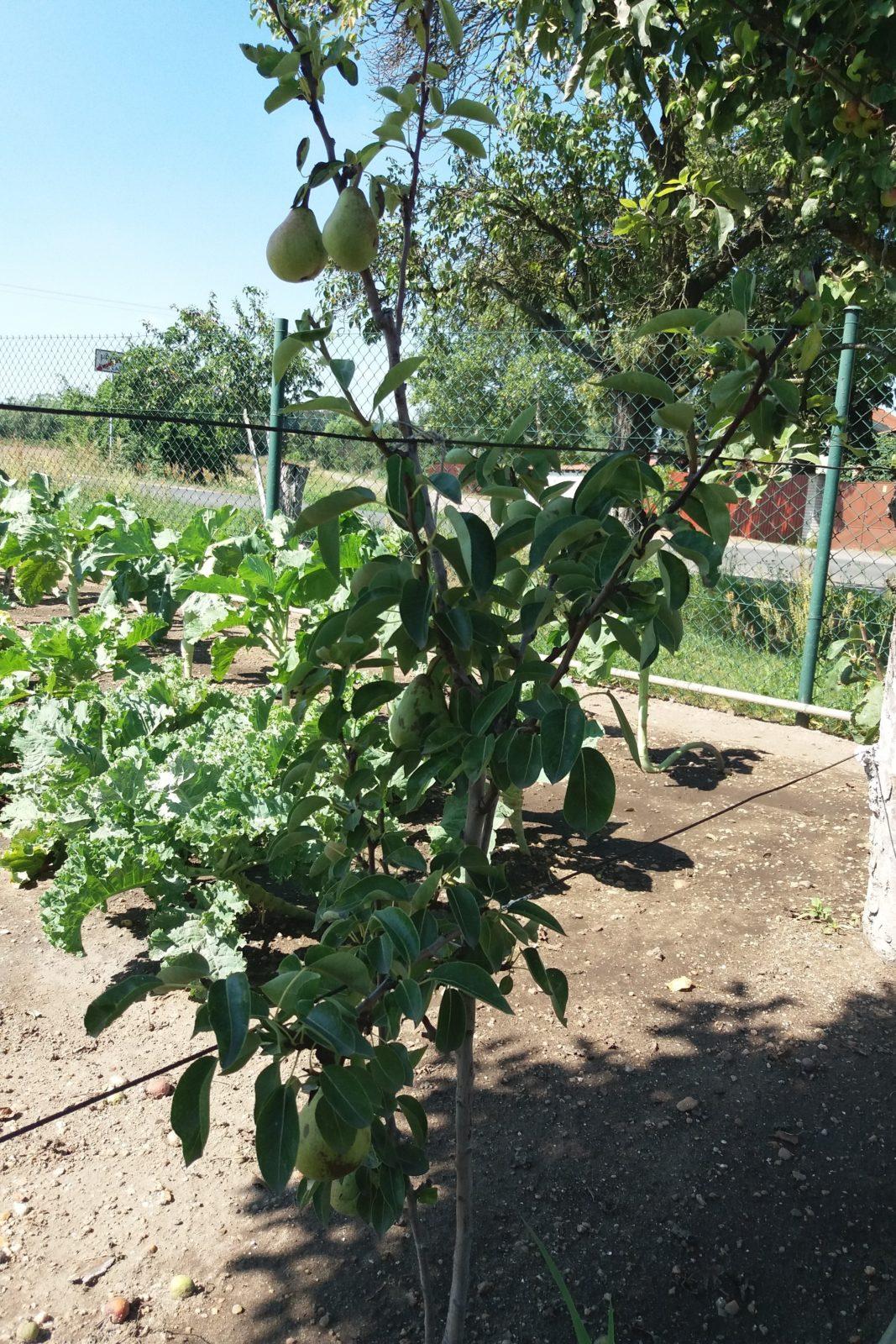 hrusne - Sloupovité hrušně jsou vhodné do malých zahrad i na balkon