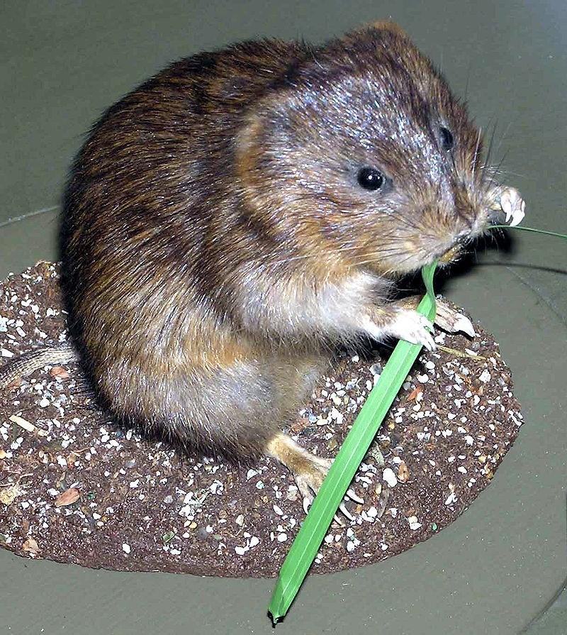 hryzec vodni - Hryzec vodní vám může zničit kořenovou zeleninu i okrasné cibuloviny