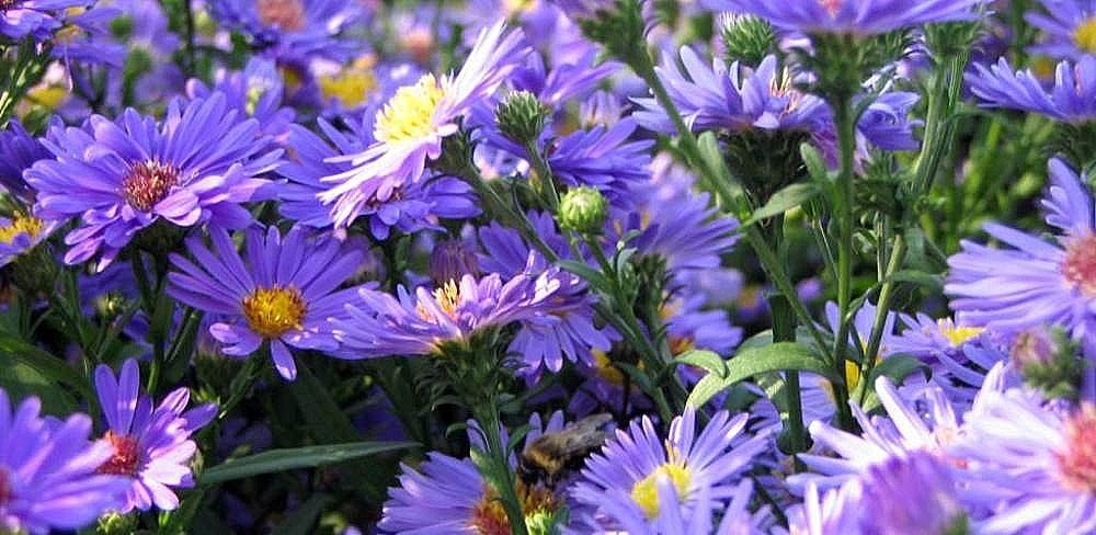 hvezdnice novobelgicka - Podzim může být také rozkvetlý. Které rostliny vybrat