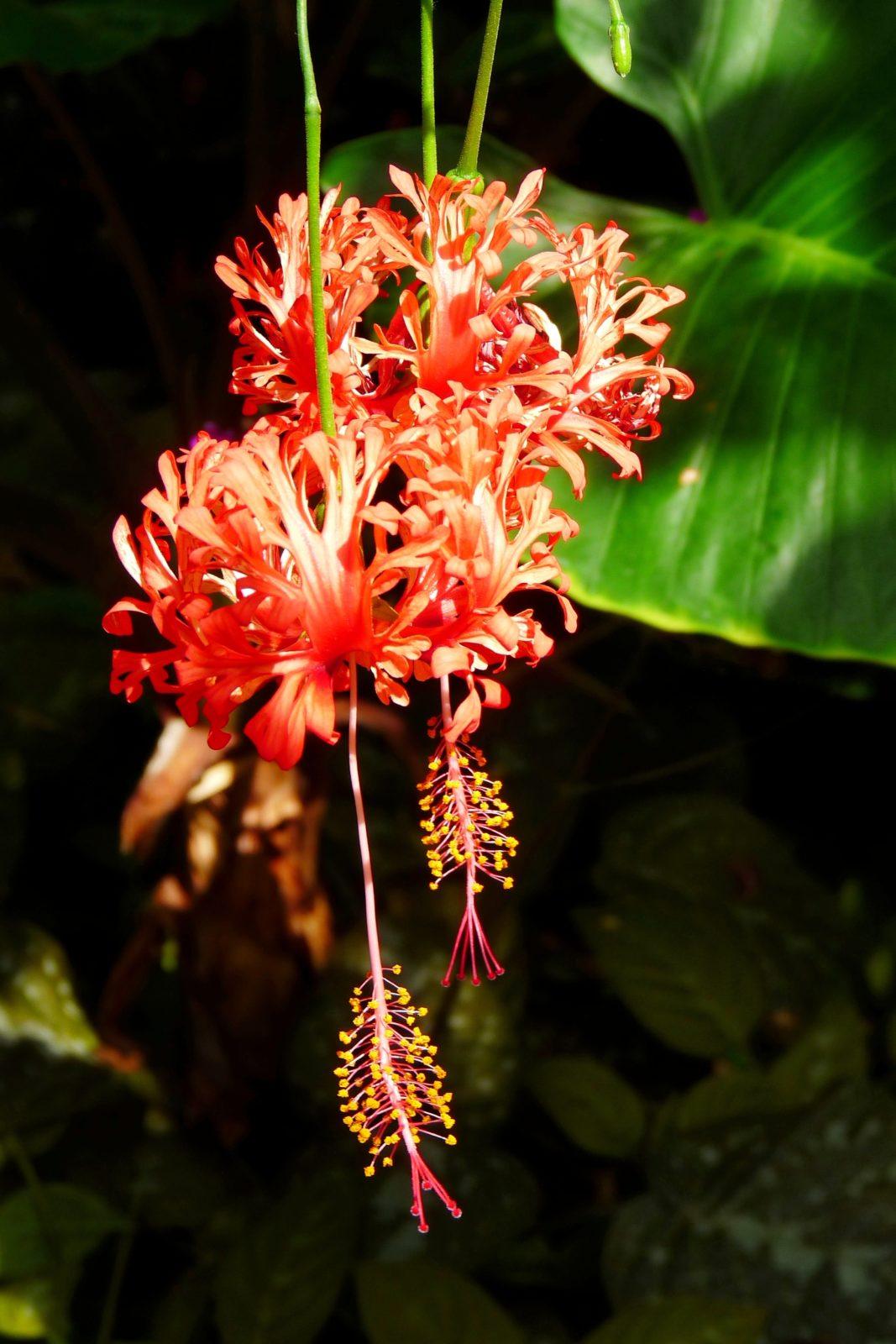 ibisek koralovy - Ibišek korálový: Exotický keř s nádhernými, rudými květy