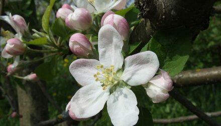 kvet jablone 440x250 - sazenicka.cz