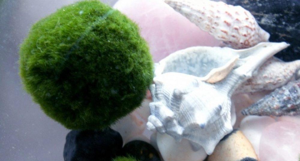 marimo rostlina - Řasokoule aneb Marimo: Roztomilou dekoraci můžete mít doma i vy