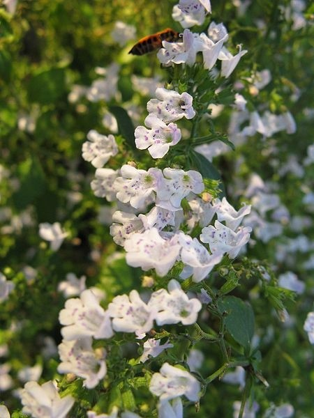 marulka - Marulka lékařská: Trvalka kvetoucí na podzim