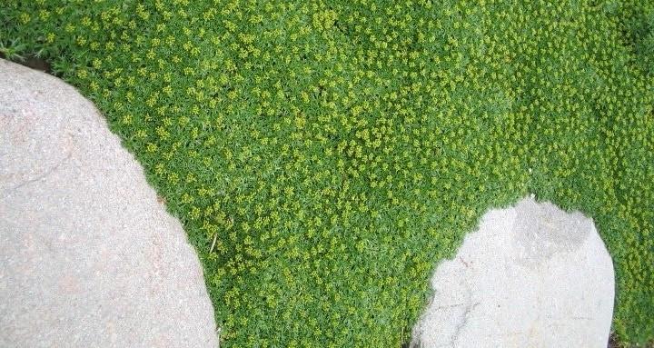 mechovec kostrbaty - Mateřídouška úzkolistá, jahodník, úrazník či některé druhy kakostů. Co mají společného? Všechny patří mezi půdo – pokryvné trvalky