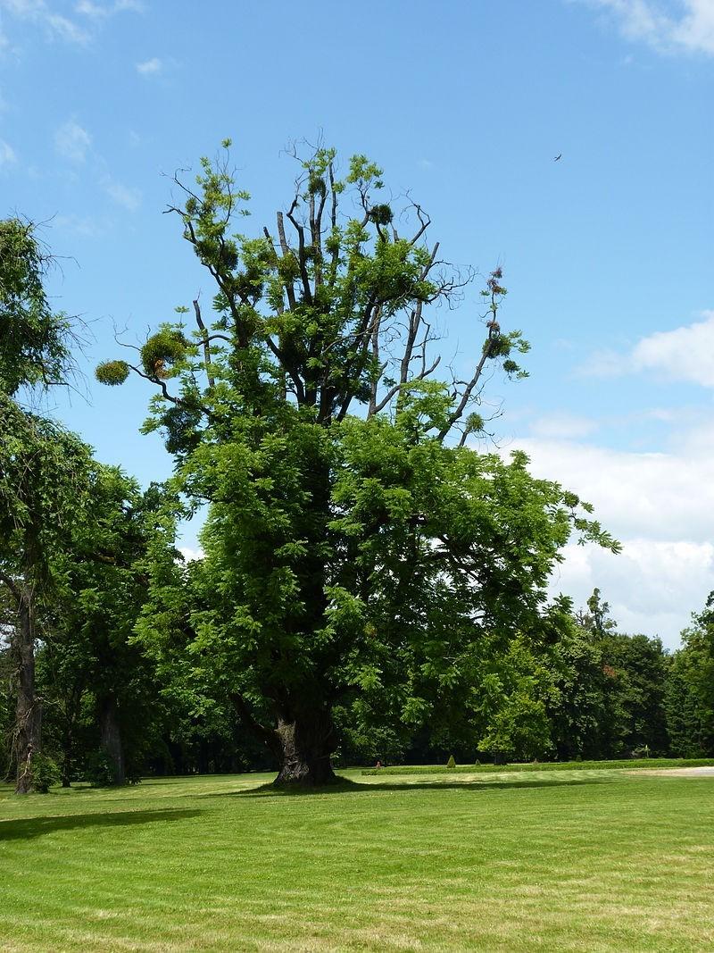 oresak cerny - Ořešák černý: Klenot do velké zahrady zaujme nejen zbarvením