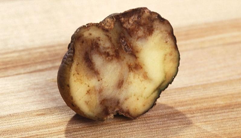 plisen bramborova - Nejčastější choroby brambor a jak jim zamezit