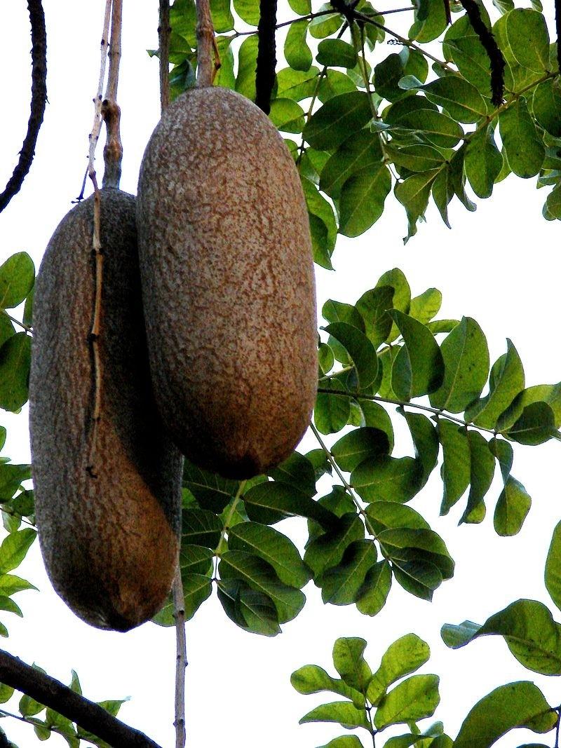 plod kigelia - Kigélie neboli salámový strom. Má pozoruhodné plody