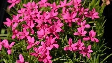 rodohypoxis - Podzim může být také rozkvetlý. Které rostliny vybrat