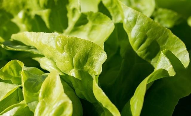 salat - Drátovci jsou škodlivý hmyz, který ničí bezpočet rostlin