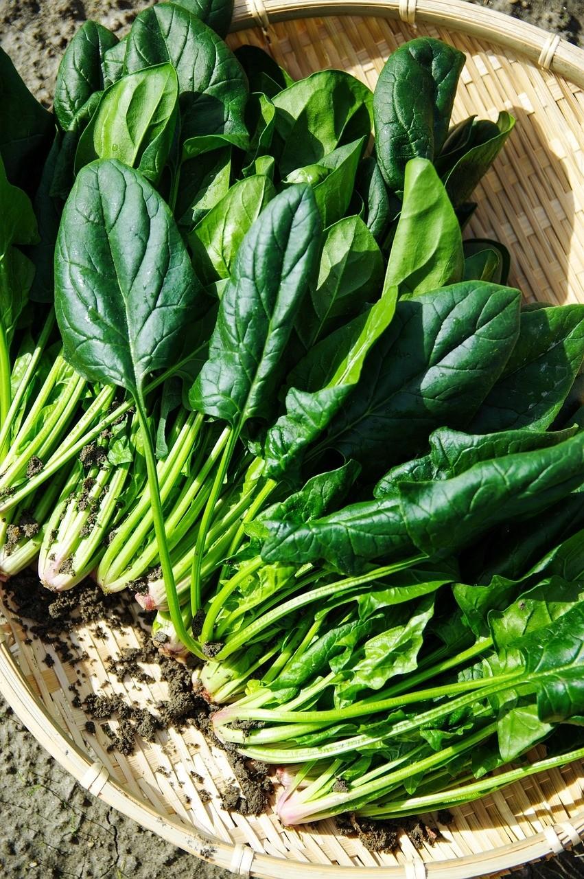 spenat - Vysejte špenát, letos ještě stihnete podzimní sklizeň