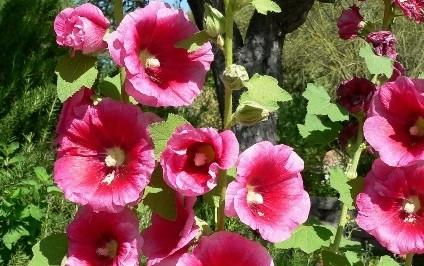 topolovka ruzova - Podzim může být také rozkvetlý. Které rostliny vybrat