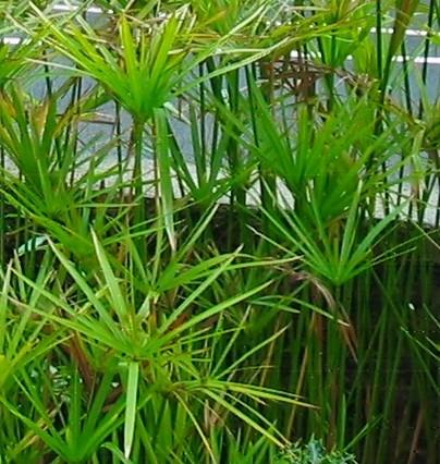 Cyperus - Jak pěstovat šáchor, aby byl po celý rok krásný