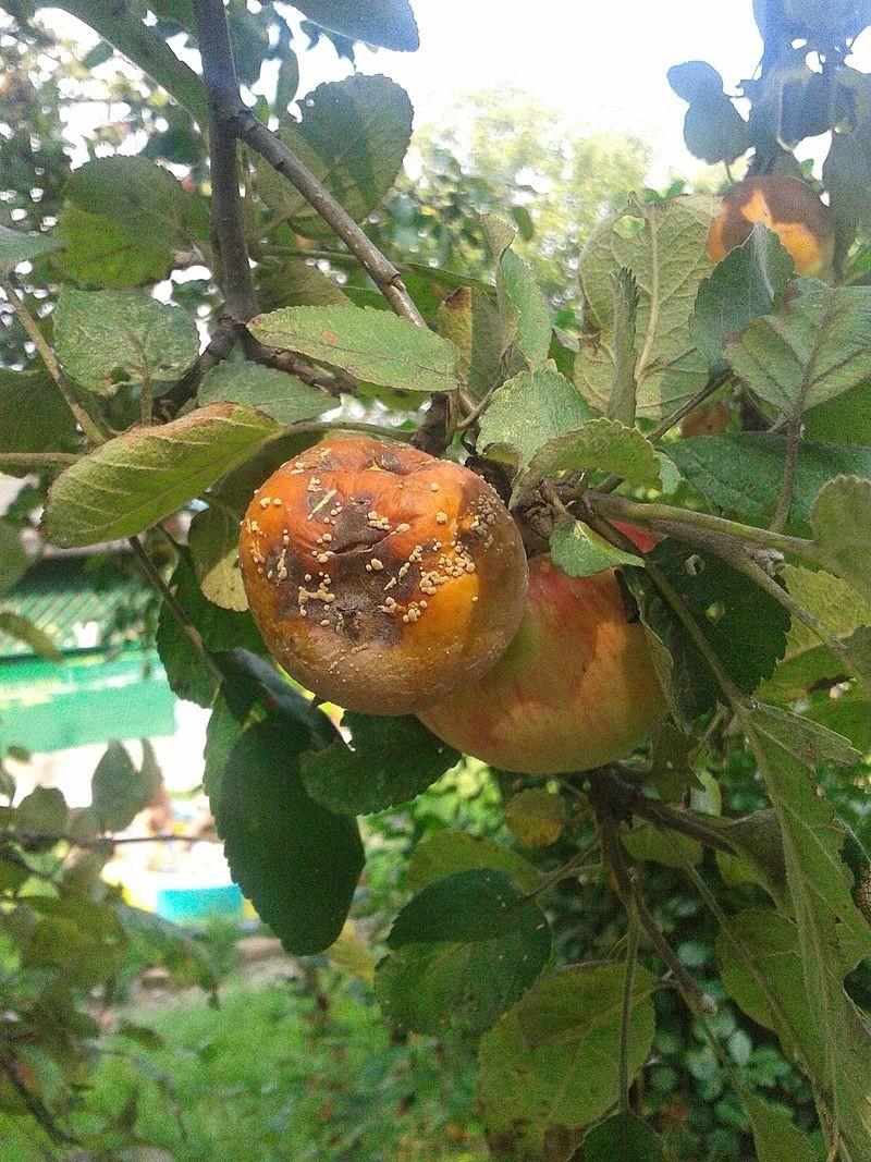 choroba - Moniliová spála postihuje ovocné i okrasné dřeviny