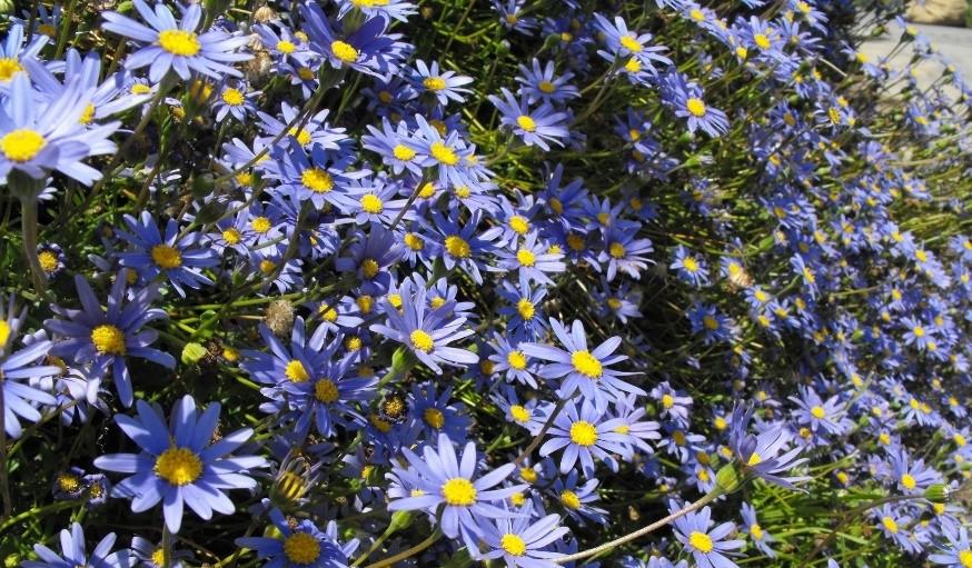 felicie kapska - Modrá v zahradě? Sáhněte po těchto rostlinách