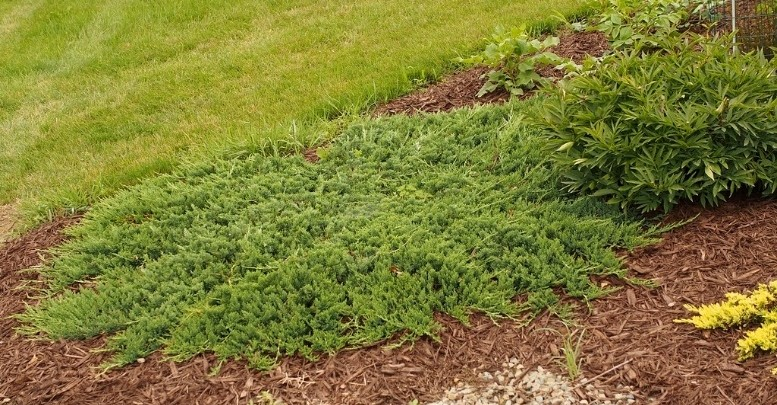 jalovec polehly - Potřebujete zakrýt holé místo, osadit svah či nahradit trávník?  Vyzkoušejte půdo – pokryvné jehličnany a keře