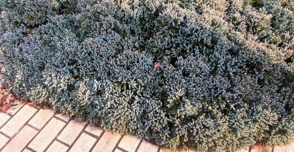 jalovec supinaty - Potřebujete zakrýt holé místo, osadit svah či nahradit trávník?  Vyzkoušejte půdo – pokryvné jehličnany a keře