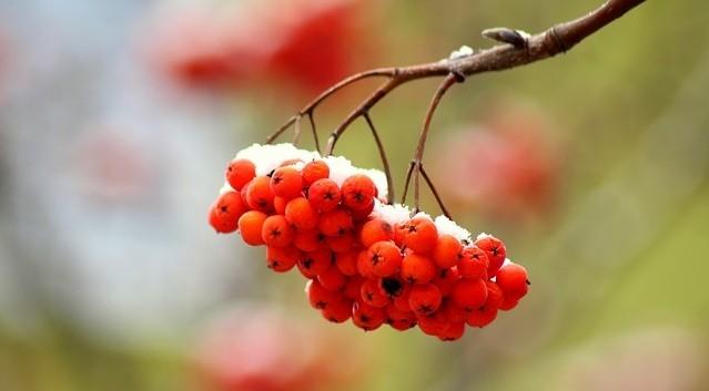 jerab - V září dozrávají bezinky a jeřabiny. Jak je dokonale využít