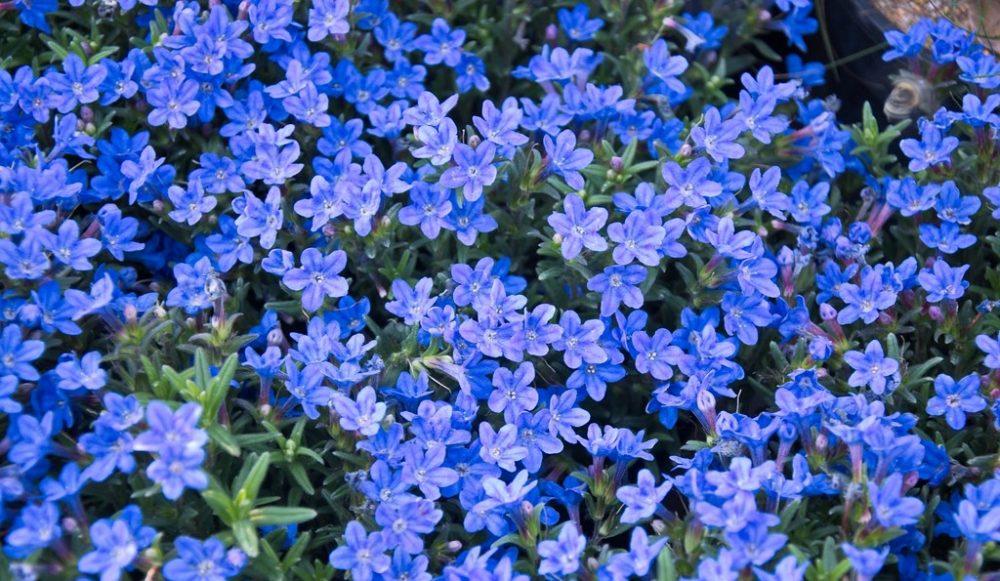 kamejka - Modrá v zahradě? Sáhněte po těchto rostlinách