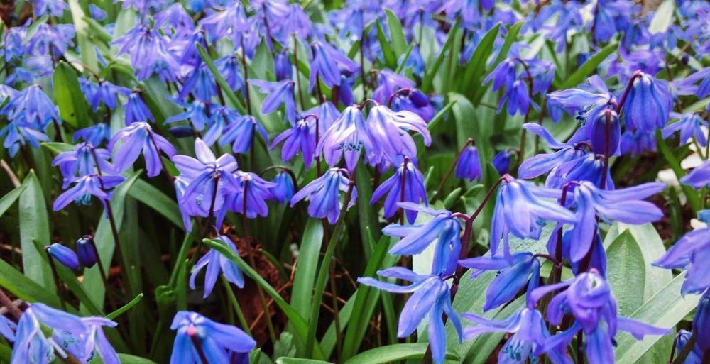 ladonka - Modrá v zahradě? Sáhněte po těchto rostlinách