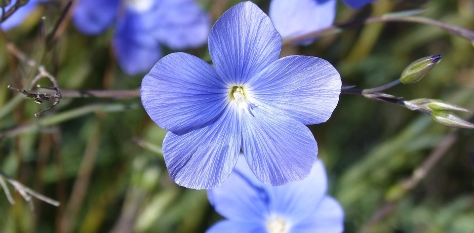 len vytrvaly - Modrá v zahradě? Sáhněte po těchto rostlinách