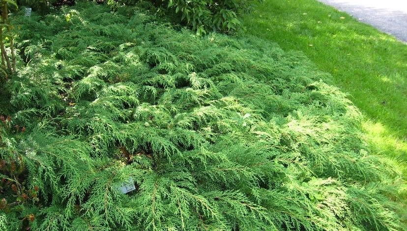 makrobiota krizolista - Potřebujete zakrýt holé místo, osadit svah či nahradit trávník?  Vyzkoušejte půdo – pokryvné jehličnany a keře