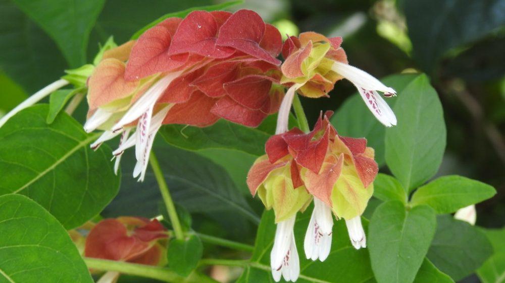 mrstilka kvet - Mrštilka aneb chmelíček: Netradiční a pěkně zbarvená pokojovka