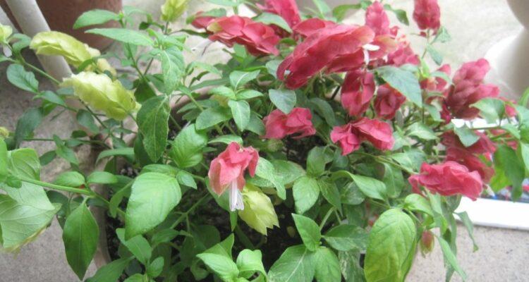 mrstilka rostlina