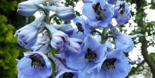 ostrozka - Modrá v zahradě? Sáhněte po těchto rostlinách