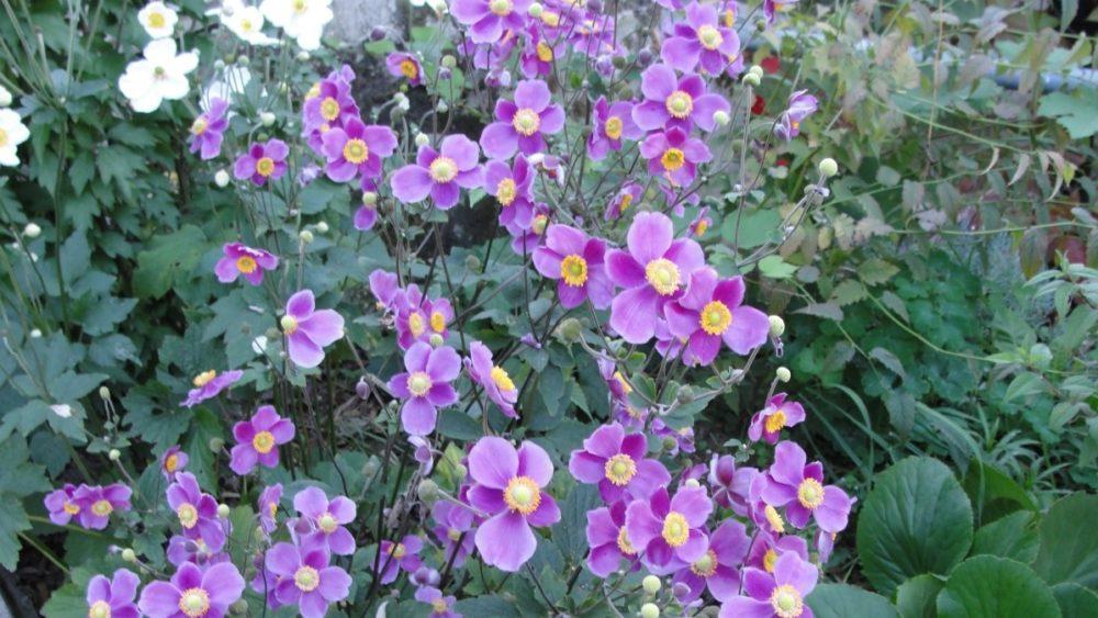 sasanka - Sasanka japonská prozáří podzimní zahradu