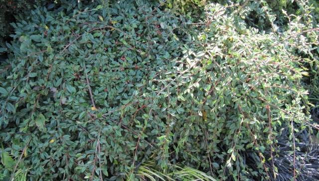 sklanik vrbolisty - Potřebujete zakrýt holé místo, osadit svah či nahradit trávník?  Vyzkoušejte půdo – pokryvné jehličnany a keře